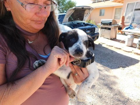 Litter of 8 Border Collie puppies for sale in GREEN VALLEY, AZ. ADN-31349 on PuppyFinder.com Gender: Male. Age: 7 Weeks Old