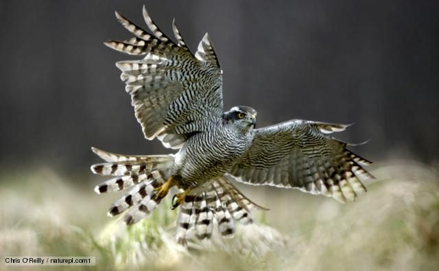BBC Nature - Northern goshawk videos, news and facts
