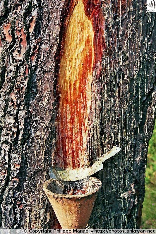 Résine de la forêt des Landes (Écomusée de Marquèze, Aquitaine)
