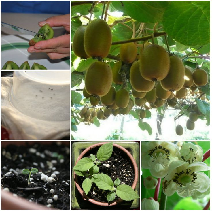 How To Grow Kiwi Plants From Seeds