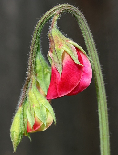 Sweet Pea #2 by philipbouchard, via Flickr