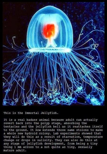 #ImmortalJellyfish