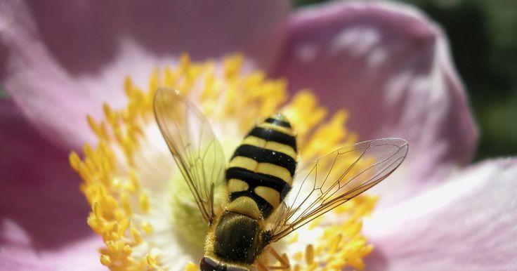 Como se livrar das abelhas nas flores de laranjeiras. Extremamente importantes para o ecossistema do mundo, as abelhas polinizam flores e constroem favos para a colheita do mel. Seu valor se perde na falta de conhecimento para as diferentes espécies de insetos voadores. Por exemplo, as vespas não servem como polinizadores de flores e tendem a apresentar mais agressividade. Você pode usar inseticidas ...