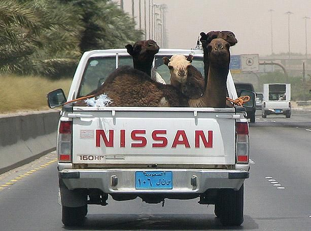 A camel-laden pick-up truck on the highways of Riyadh, Saudi Arabia.