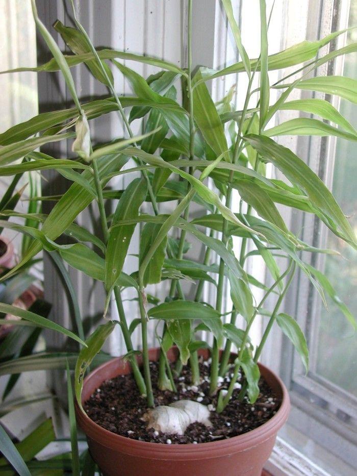 25+ Best Ideas About Ingwer Pflanzen On Pinterest | Heilkräuter ... Ideen Fur Zimmerpflanzen Winterdepression Bekampfen