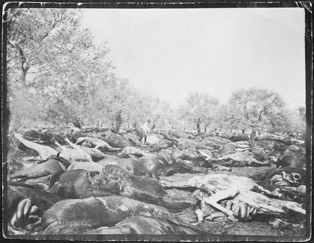Horses of the 3rd Light Horse Brigade destroyed after armistice, Tripoli, Syria, 1918 / R.N. Wardle | Flickr - Photo Sharing!