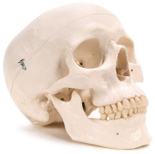 "3B Scientific Plastic Human Skull Model, 3 Parts, 7.9"" X 5.3"" X 6.1"", 2015 Amazon Top Rated Anatomical Models #BISS"