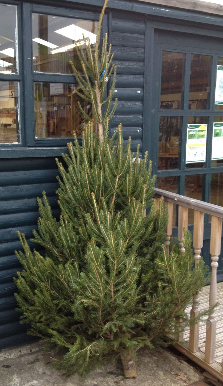 Norway Spruce Christmas Tree, just one of the species and sizes we sell at Christmas.