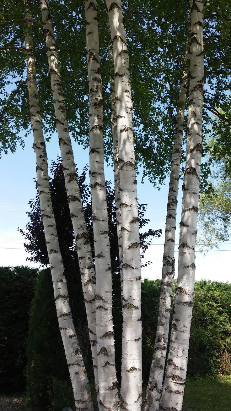 C p e de 7 bouleaux nos fleurs plantes arbres for Arbres plantes fleurs