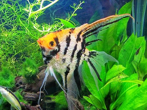 Cara Budidaya Ikan Manfish Termudah Buat Sukses Dini