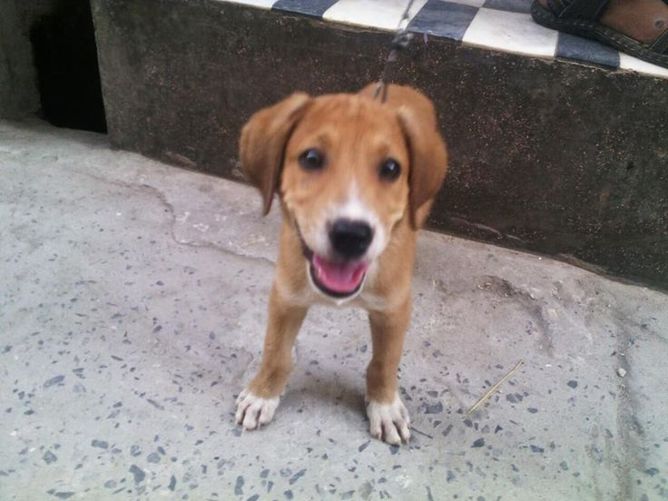 Hunderasse Labrador Retrieve