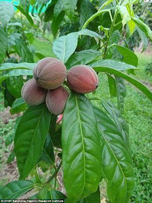 Im Inneren dieser Früchte stecken die Killerkerne gegen Krebs