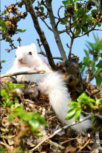 Beautiful white squirrel. Not albino, see the dark eyes, we have them here in S. Ontario, Canada