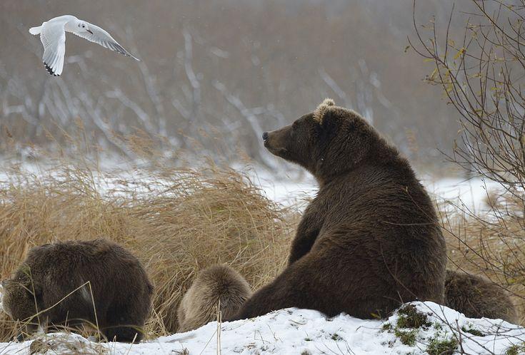 За последние дни на озере заметно уменьшилось количество медведей. Расходятся по берложным местам. Лишь самые стойкие матухи еще держат свои семьи на…