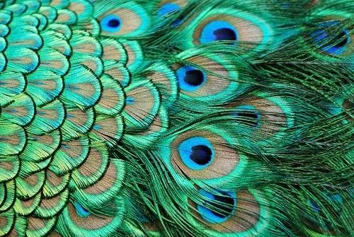 brilliant peacock feathers