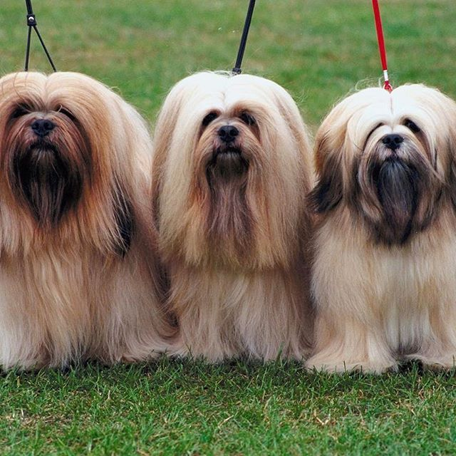 The temperament of the Lhasa Apso is unique: joyful and mischievous, dignified and aloof.