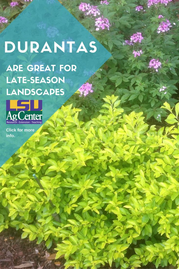 Shrubs to plant in fall - Durantas Become More Noticeable In Late Summer And Fall Landscapes As Plants Get Larger And The
