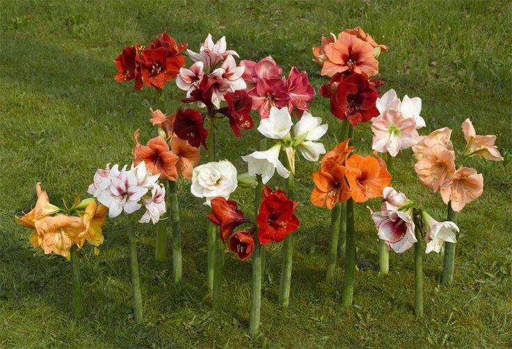 Amaryllis fiore del mese dal 5 dicembre al 31 dicembre