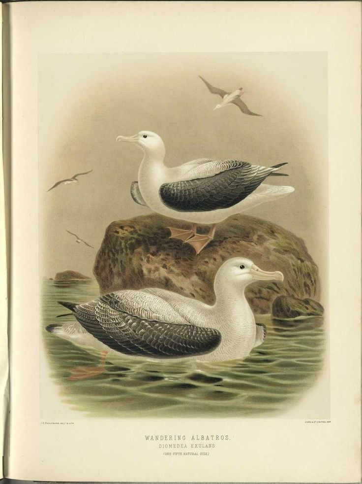'A History of the Birds of New Zealand', 1888 by Sir Walter Lawry Buller. Beautiful antique ornithology image.