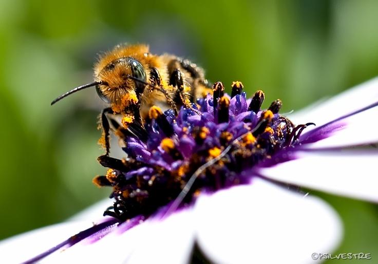 Salvemos a las abejas! ©Pilar Silvestre