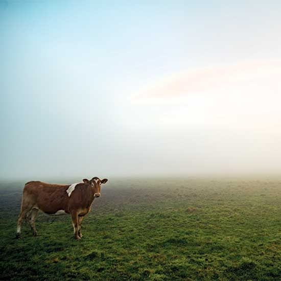 The Sacred Cow: Fighting Desertification