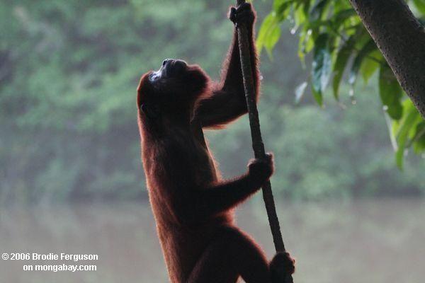 Mono aullador rojo -Fotógrafo: Rhett Butler  Google+ ,   Mongabay.com fotografiado en: , Parque Nacional Amacayacu Colombia