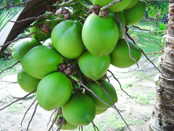 Eau de Coco Fraîche Bio et Crue chez Green Market Uzès. L'eau de coco possède une faible teneur en calories, gras et sucre, elle contient plus de potassium que 4 bananes et est super réhydratante. Elle contient moins de calories et de sel mais plus de potassium qu'une boisson énergétique pour sportif.