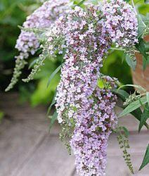 Butterfly Bush, Dwarf Butterfly Bush