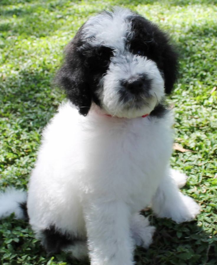 White Goldendoodles 1000+ images about Gol...