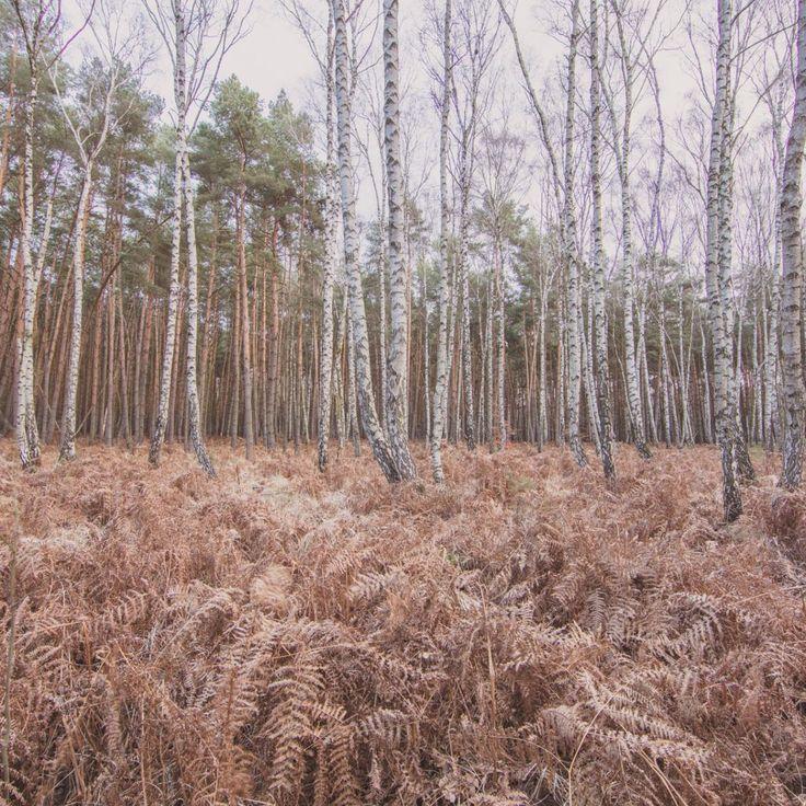 Bild 31 - Zadlitzbruch in der Dübener Heide bei Torgau | © Michael Eichhorn #zadlitzbruch #dübener_heide #naturschutzgebiet #sachsen #saxony #ausflugsziel #torf #moor #hochmoor #wandern #dübenerheide #duebenerheide #torgau #baddueben #baddüben #wald #sumpf #sumpfgebiet #natur #naturschutz #reservat #biosphäre #biosphere #farn #naturpark #falkenberg #trossin #dresden #nordsachsen #leipzig #sehenswürdigkeit #ziel #sonnentau #sumpfdotterblume #kranich