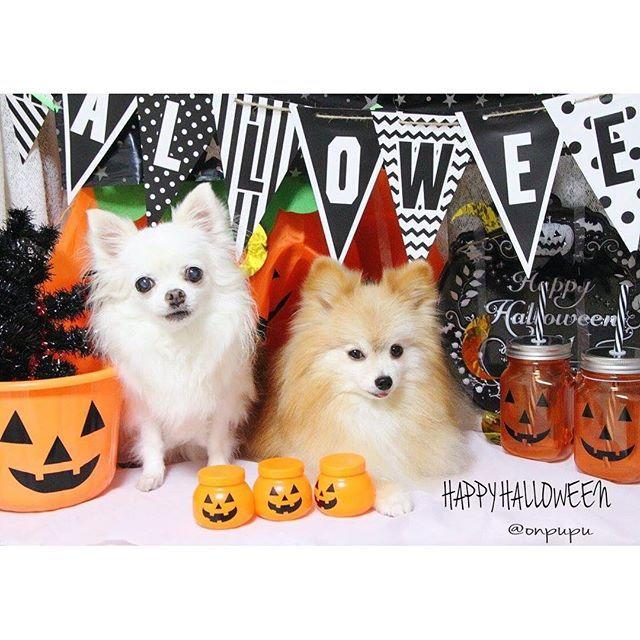 ⁑ ☆❋──❁ɢ∞פ ʍօ®ɴɪɴɢ❃──❋ ⁑ *くるみちゃんと一緒にハロウィン🎃Part1* ちょっとゴチャゴチャ( ´•д•` )💦 ⁑ くるちゃん可愛いのにおんぷちゃんの顔ブッサイク(-人-) ❇︎ #Pomeranian#Chihuahua#dog#dogstagram#instadog#cutedog#ポメラニアン#パピヨン#ポメヨン#ミックス犬#チワワ#pomstagram#ilovemydog#ワンコなしでは生きて行けません会#おんぷっぷー#愛犬#犬バカ部#ふわもこ部#大好きなくるちゃん#inutokyo#todayswanko#east_dog_japan#coolangel369#ファインダー越しの私の世界#カメラ好きな人と繋がりたい#bestfriends_dogs#pecoいぬ部#Halloween#ハロウィン#ぷーの手作りセット