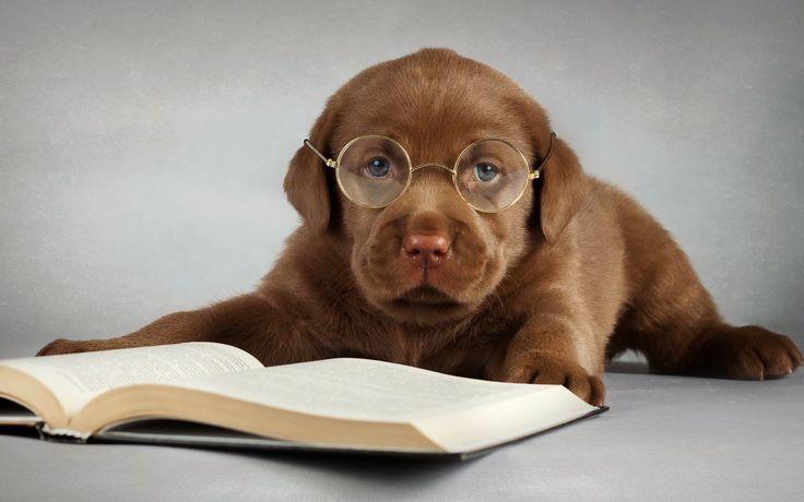 Leuke grappige honden achtergrond met een bruine labrador met bril en ...