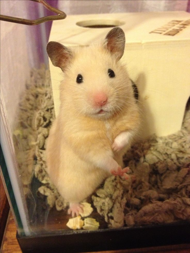 Our hamster...He looks like a cartoon character, so cute