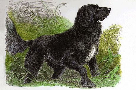 Ten notable extinct dog breeds: Tweed Water Spaniel - Records indicate today's Golden Retriever may have this dog to thank for its origin. The Tweed Water Spaniel was an intelligent bird and waterfowl hunter and adept, water-resistant swimmer.  #TweedWaterSpaniel #Spaniel #DogBreeds
