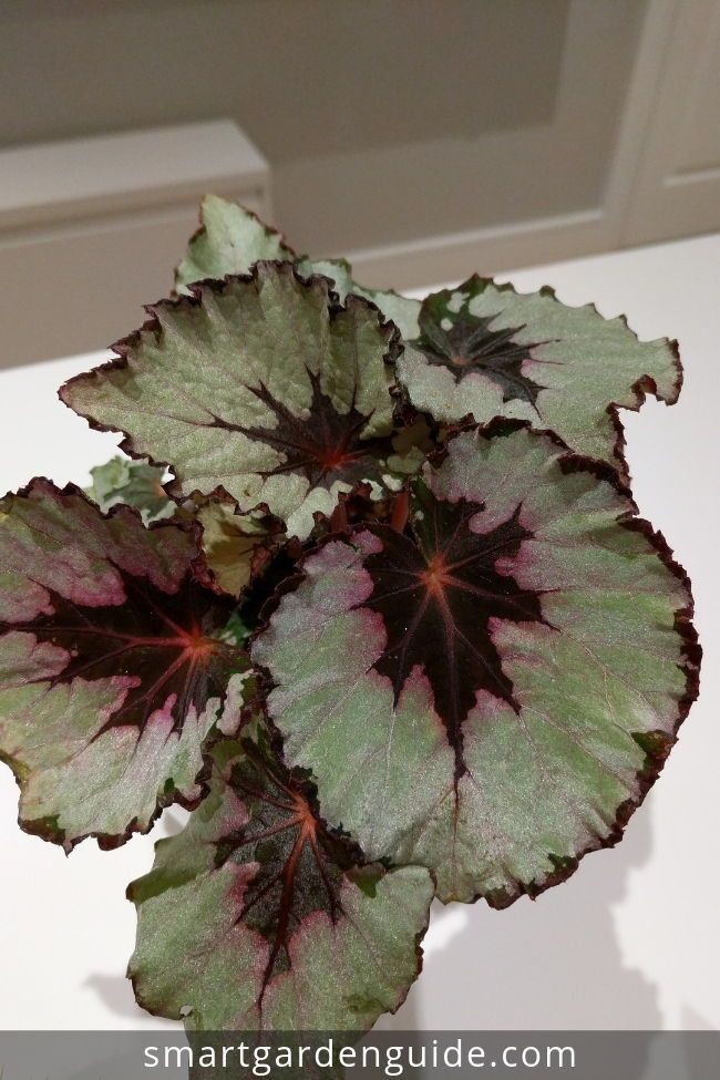 Rex Begonia Care Indoors Simple Tips For Success With Images