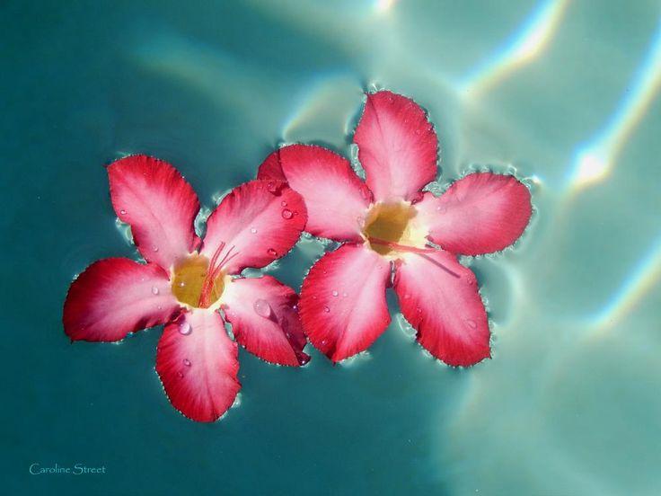 Abstract Impala Lily  by carolinestreet