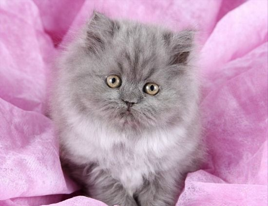 Blue Smoke Teacup Persian Kitten