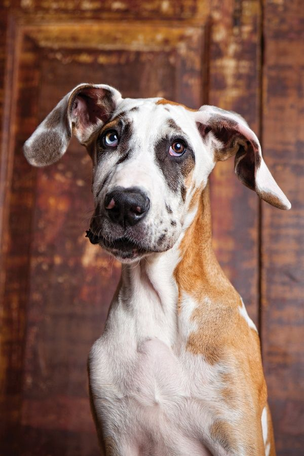 Great Dane OMG, look at that face!! I'd spend my whole day smooching on that pup!!!