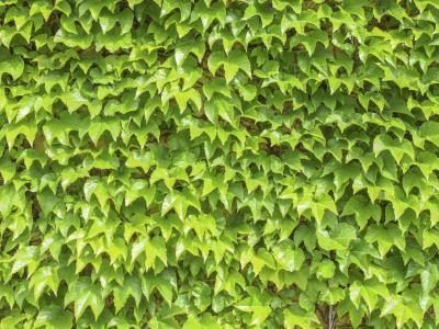 Close-up of English ivy