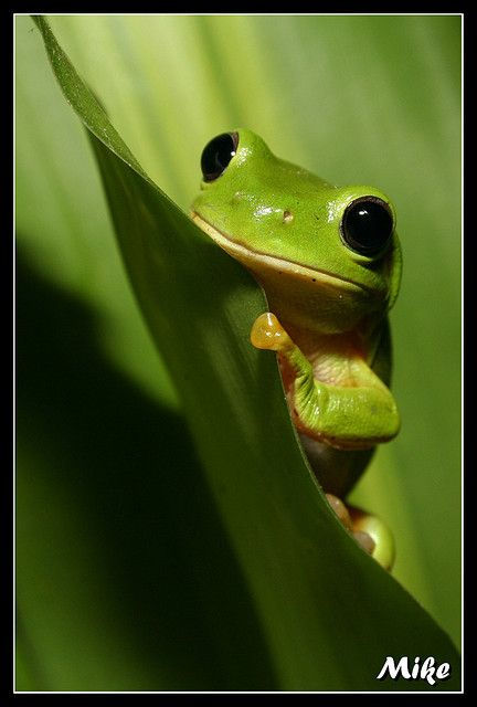 Green Tree Frogs -listening to them the Midsummer night, as they croon in the backyard.