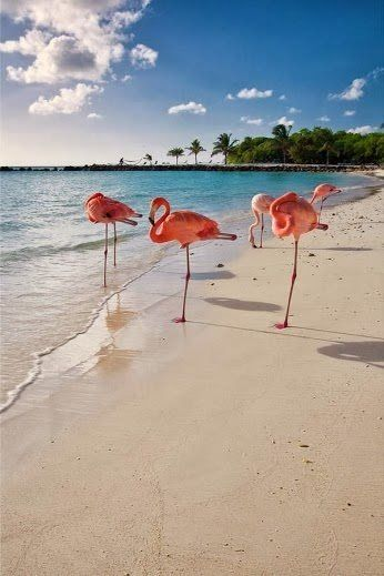 Explore the beach with flamingos in Aruba.