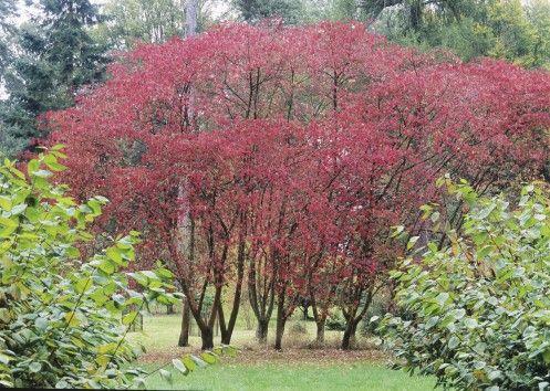 Euomymus oxyphyllus les 750 esp ce d 39 arbres et arbustes plant es dans mon jardin pinterest - Quel arbre dans mon jardin ...