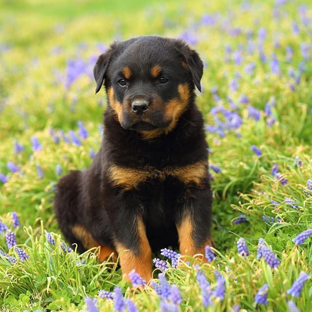 The best place for a quick break? A flower bed  #Rottweiler