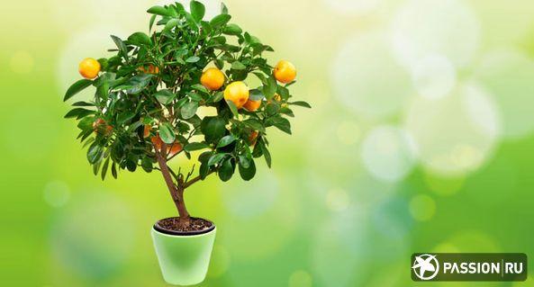 Как вырастить лимонное дерево из косточки / shutterstock.com