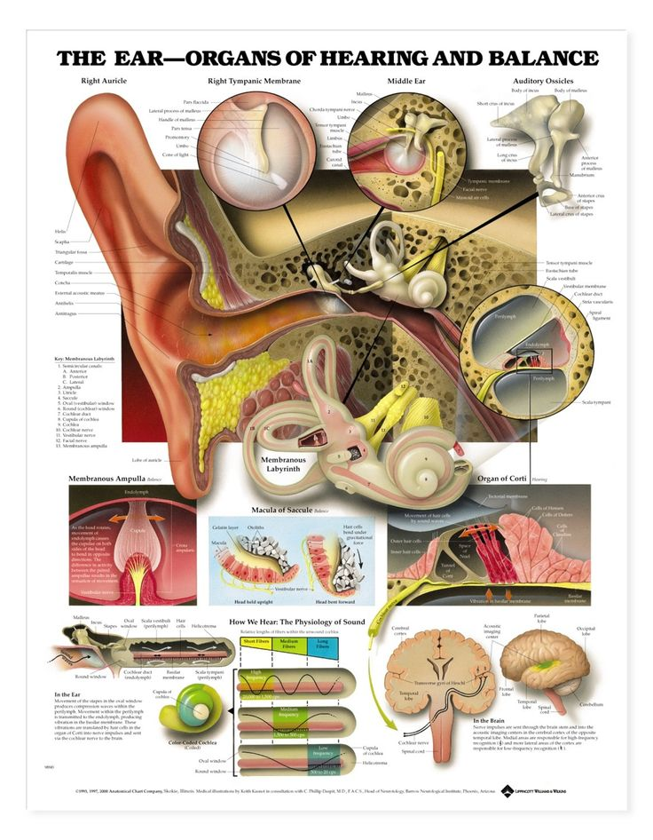 Worksheets The Ear Hearing And Balance Worksheet Answers 1000 ideas about middle ear anatomy on pinterest hearing aids secondhand smoke linked to loss balance anatomicalanatomical chartear
