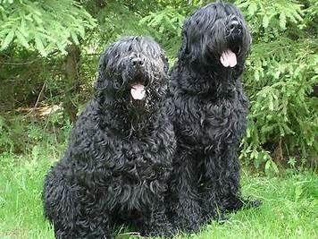 """Результаты поиска изображений по запросу """"black russian terrier"""""""