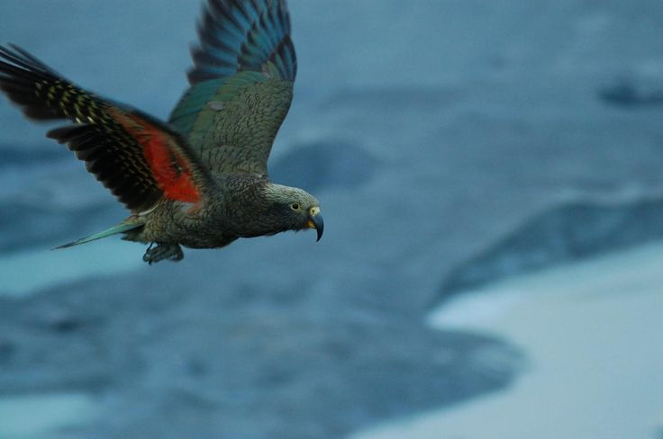 New Zealand Attack Video Wikipedia: 109 Best Images About Kea On Pinterest