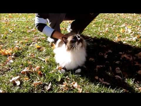 Cat Hair Removal: How to Quickly Remove Cat Hair from a Ragdoll Cat - ねこ - ラグドール - Floppycats	http://youtu.be/8yjG-0JIMNI