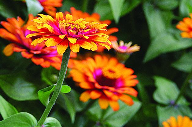 Top 10 Plants You Can't Kill: Zinnia