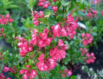 Escallonia pride of donard escallonia pride of donard - Arbuste a fleurs roses identification ...